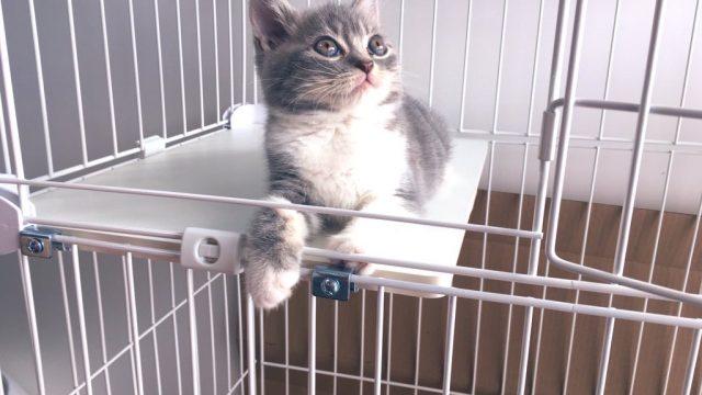 スコティッシュ子猫